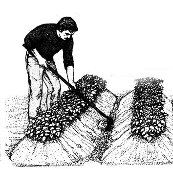 Papa           Aporcado-patatas