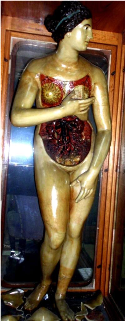 venus anatómica10