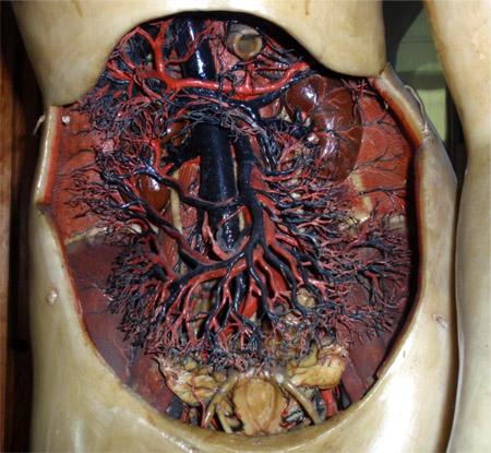 venus anatómica12